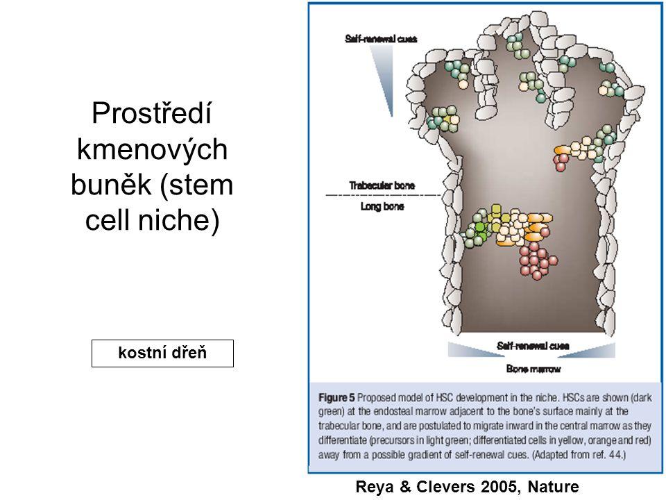 Reya & Clevers 2005, Nature Prostředí kmenových buněk (stem cell niche) kostní dřeň