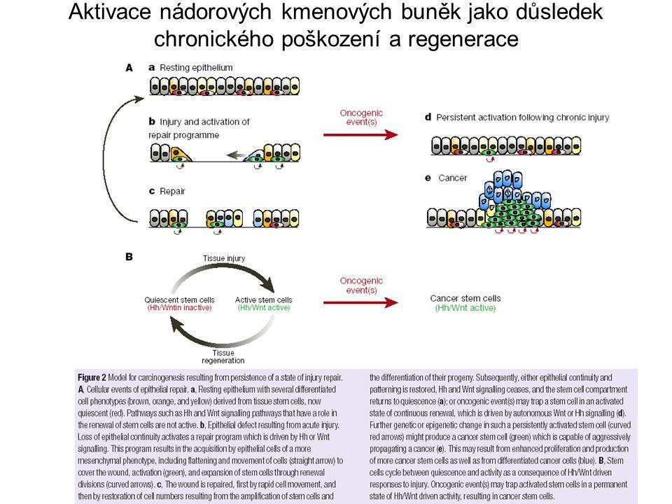Aktivace nádorových kmenových buněk jako důsledek chronického poškození a regenerace