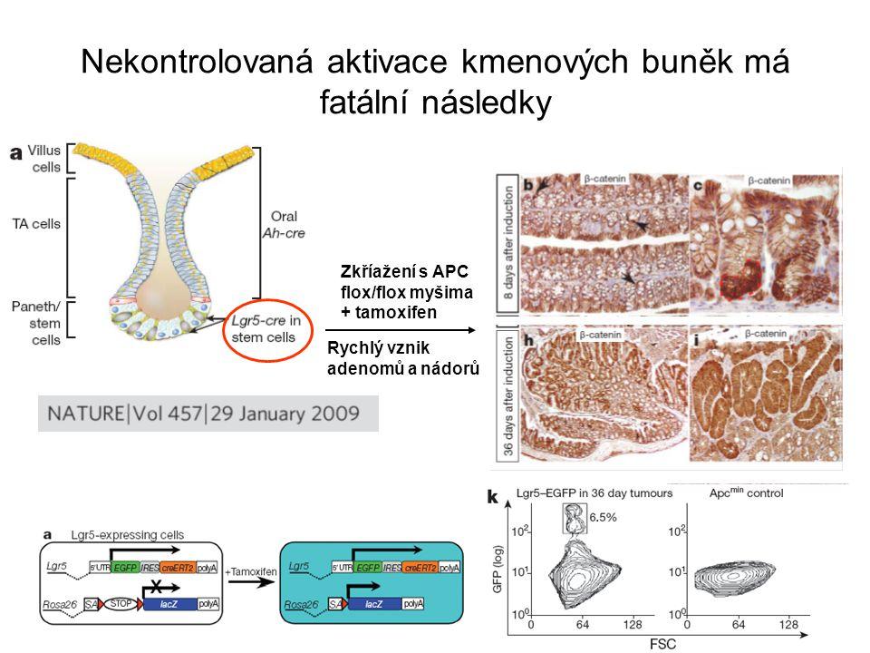 Nekontrolovaná aktivace kmenových buněk má fatální následky Rychlý vznik adenomů a nádorů Zkříažení s APC flox/flox myšima + tamoxifen