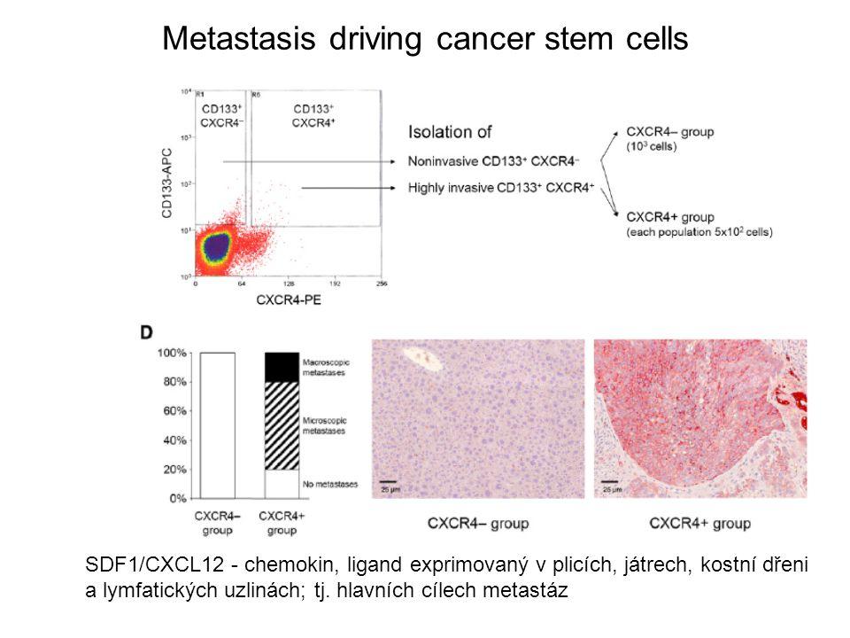 SDF1/CXCL12 - chemokin, ligand exprimovaný v plicích, játrech, kostní dřeni a lymfatických uzlinách; tj. hlavních cílech metastáz Metastasis driving c