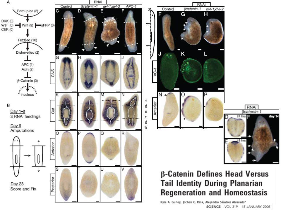 Kde jsou adult stem cells a jak vypadají?