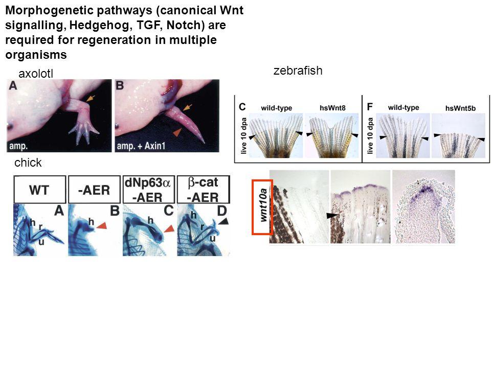 Klasické morfogenetické dráhy (Wnt, Hh, Notch a další) regulují regeneraci, tkáňové specifické kmenové buňky i nádory