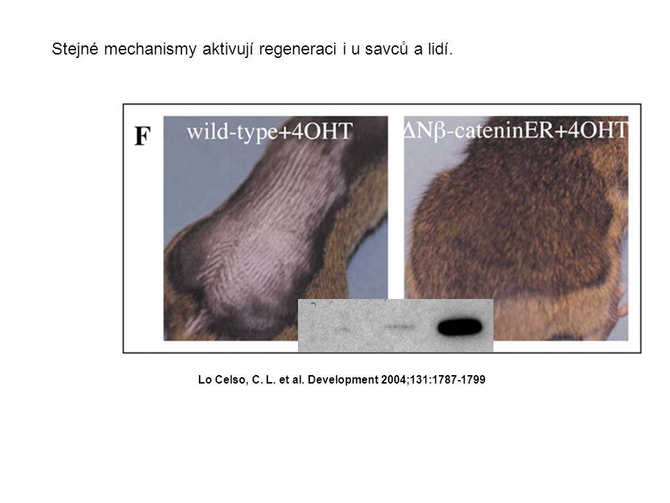 Lo Celso, C. L. et al. Development 2004;131:1787-1799 Stejné mechanismy aktivují regeneraci i u savců a lidí.