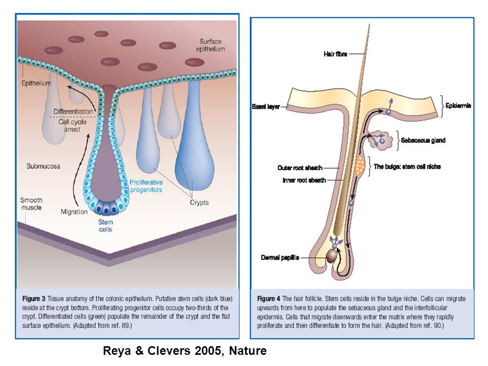 Moore & Lemischka, Science, 2006 Prostředí kmenových buněk (stem cell niche) střevní epitel