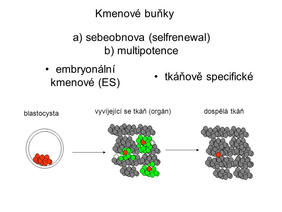 Kmenové buňky embryonální kmenové (ES) tkáňově specifické a) sebeobnova (selfrenewal) b) multipotence