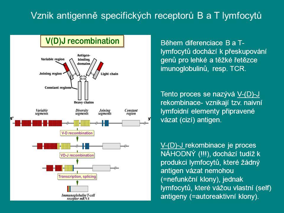 Během diferenciace B a T- lymfocytů dochází k přeskupování genů pro lehké a těžké řetězce imunoglobulinů, resp. TCR. Tento proces se nazývá V-(D)-J re