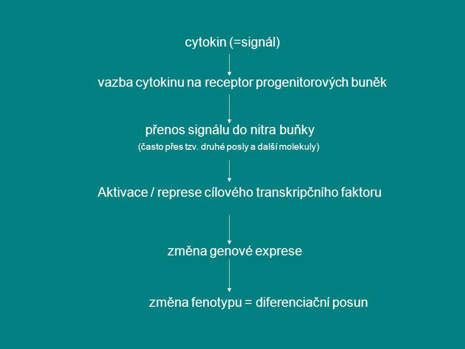 cytokin (=signál) vazba cytokinu na receptor progenitorových buněk přenos signálu do nitra buňky (často přes tzv. druhé posly a další molekuly) Aktiva