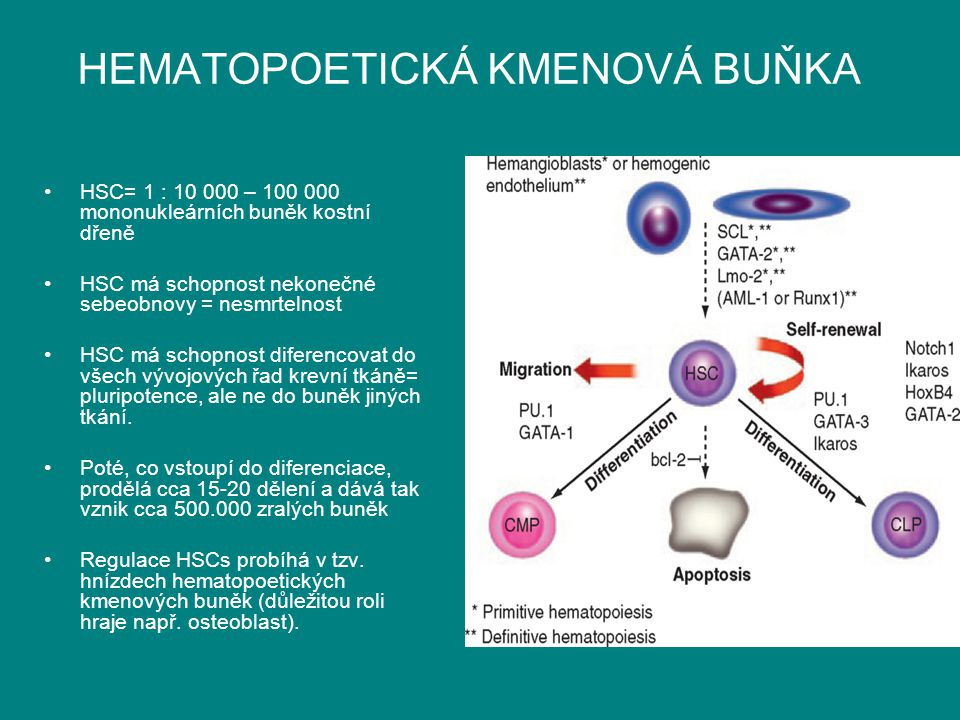 HEMATOPOETICKÁ KMENOVÁ BUŇKA HSC= 1 : 10 000 – 100 000 mononukleárních buněk kostní dřeně HSC má schopnost nekonečné sebeobnovy = nesmrtelnost HSC má