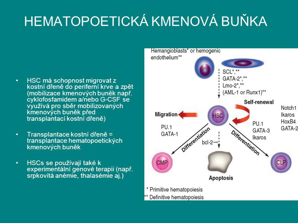 HEMATOPOETICKÁ KMENOVÁ BUŇKA HSC má schopnost migrovat z kostní dřeně do periferní krve a zpět (mobilizace kmenových buněk např. cyklofosfamidem a/neb