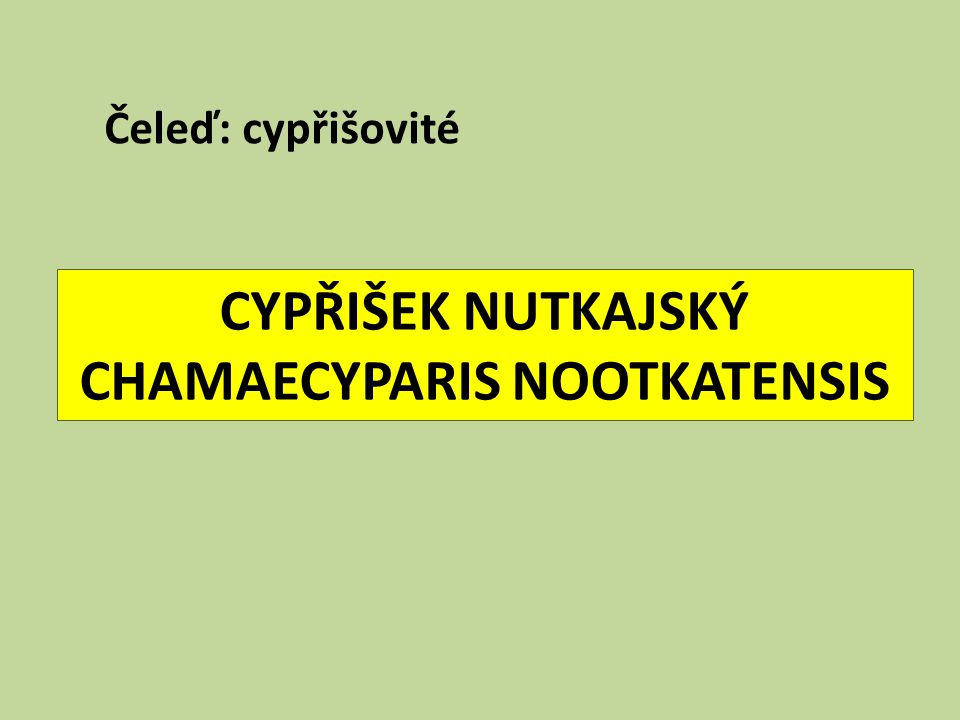 CYPŘIŠEK NUTKAJSKÝ CHAMAECYPARIS NOOTKATENSIS Čeleď: cypřišovité