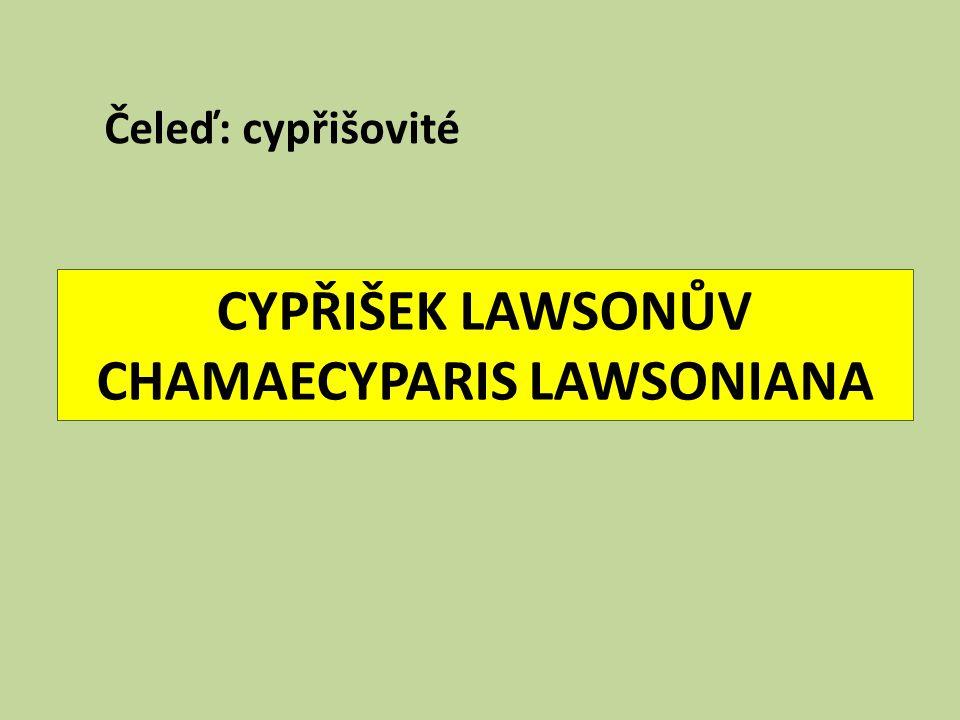 CYPŘIŠEK LAWSONŮV CHAMAECYPARIS LAWSONIANA Čeleď: cypřišovité