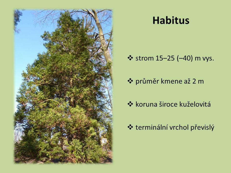 Habitus  strom 15–25 (–40) m vys.  průměr kmene až 2 m  koruna široce kuželovitá  terminální vrchol převislý