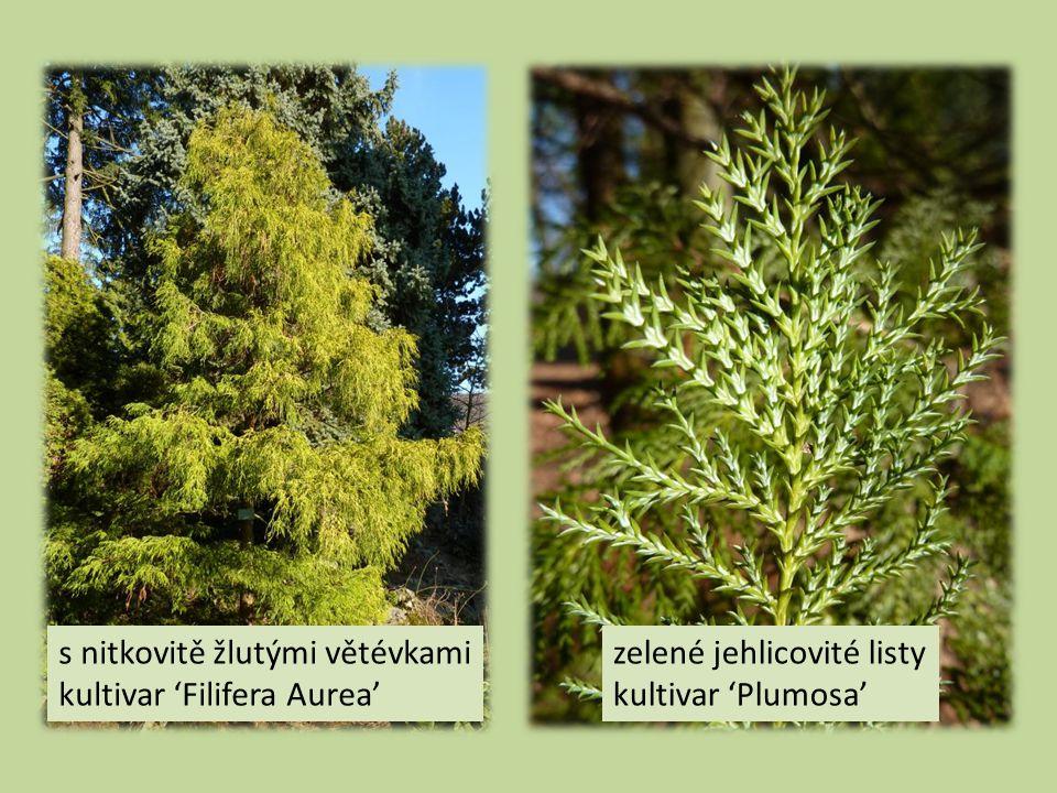 s nitkovitě žlutými větévkami kultivar 'Filifera Aurea' zelené jehlicovité listy kultivar 'Plumosa'