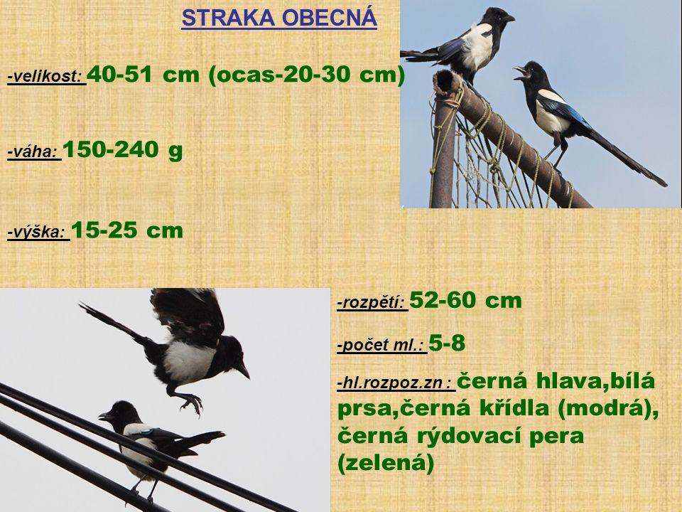 STRAKA OBECNÁ -velikost: 40-51 cm (ocas-20-30 cm) -váha: 150-240 g -výška: 15-25 cm -rozpětí: 52-60 cm -počet ml.: 5-8 -hl.rozpoz.zn : černá hlava,bíl