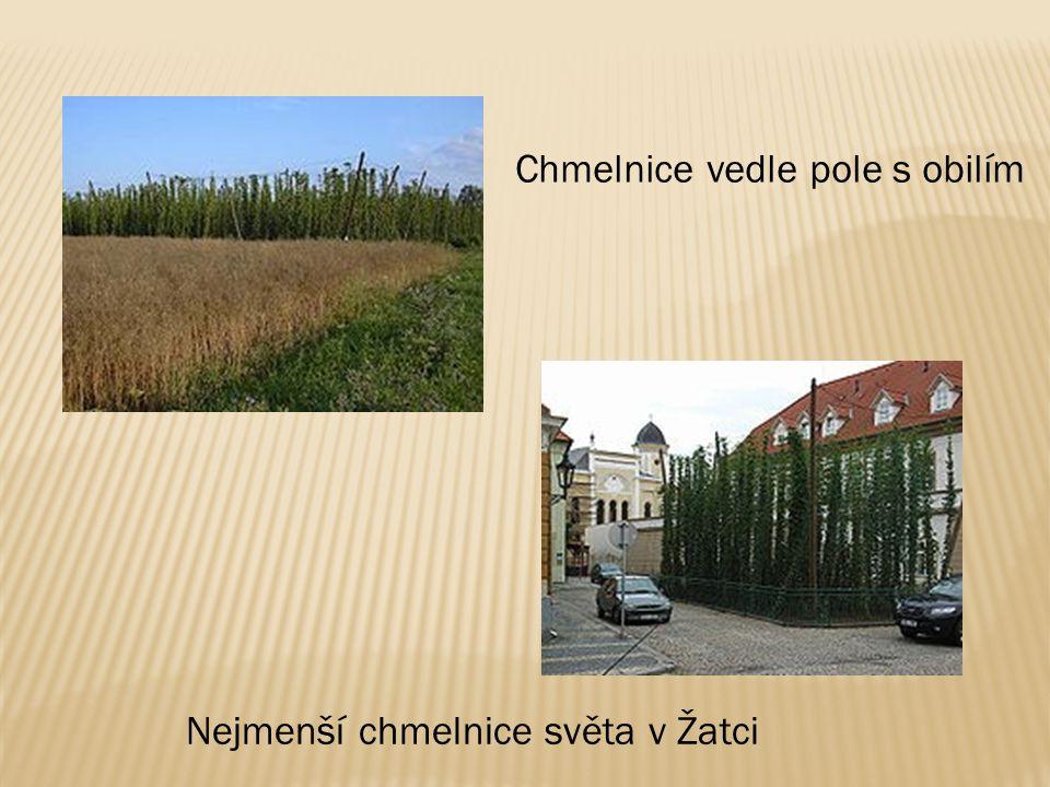 Chmelnice vedle pole s obilím Nejmenší chmelnice světa v Žatci