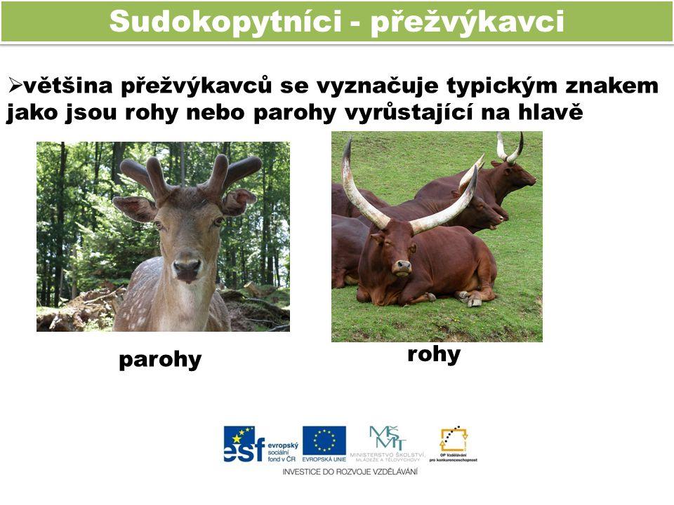 Sudokopytníci - přežvýkavci  většina přežvýkavců se vyznačuje typickým znakem jako jsou rohy nebo parohy vyrůstající na hlavě parohy rohy