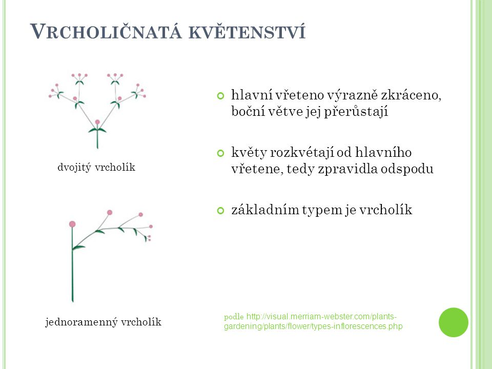 V RCHOLIČNATÁ KVĚTENSTVÍ hlavní vřeteno výrazně zkráceno, boční větve jej přerůstají květy rozkvétají od hlavního vřetene, tedy zpravidla odspodu zákl