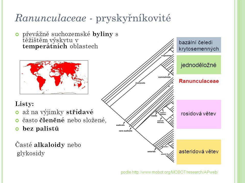 jednoděložné bazální čeledi krytosemenných Ranunculaceae rosidová větev asteridová větev podle http://www.mobot.org/MOBOT/research/APweb/ Ranunculacea