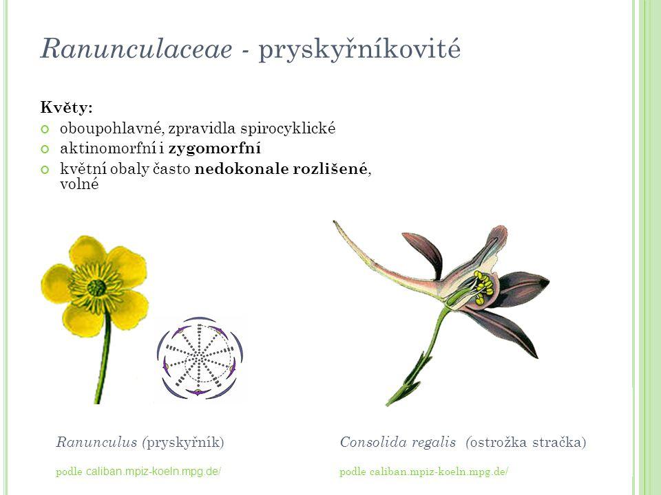 Ranunculaceae - pryskyřníkovité Květy: oboupohlavné, zpravidla spirocyklické aktinomorfní i zygomorfní květní obaly často nedokonale rozlišené, volné