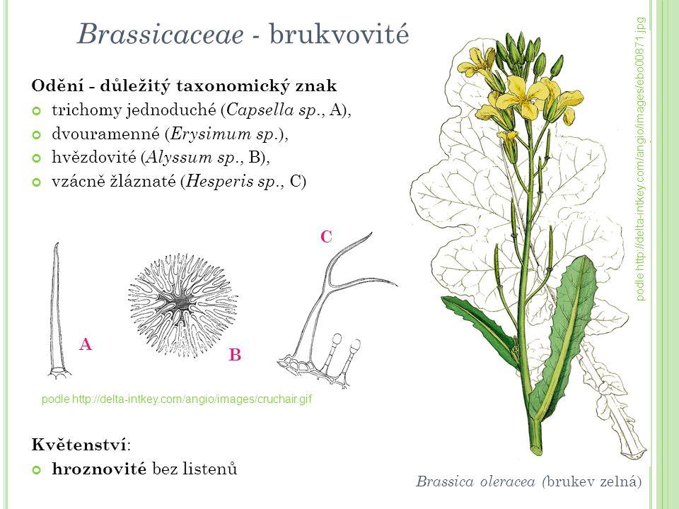 Odění - důležitý taxonomický znak trichomy jednoduché ( Capsella sp., A), dvouramenné ( Erysimum sp.), hvězdovité ( Alyssum sp., B), vzácně žláznaté (