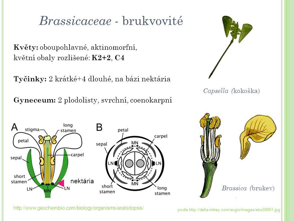Květy: oboupohlavné, aktinomorfní, květní obaly rozlišené: K2+2, C4 Tyčinky: 2 krátké+4 dlouhé, na bázi nektária Gyneceum: 2 plodolisty, svrchní, coen