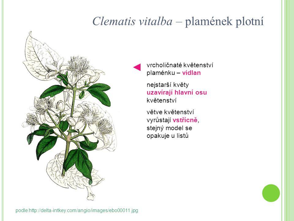 Clematis vitalba – plamének plotní vrcholičnaté květenství plaménku – vidlan nejstarší květy uzavírají hlavní osu květenství větve květenství vyrůstaj