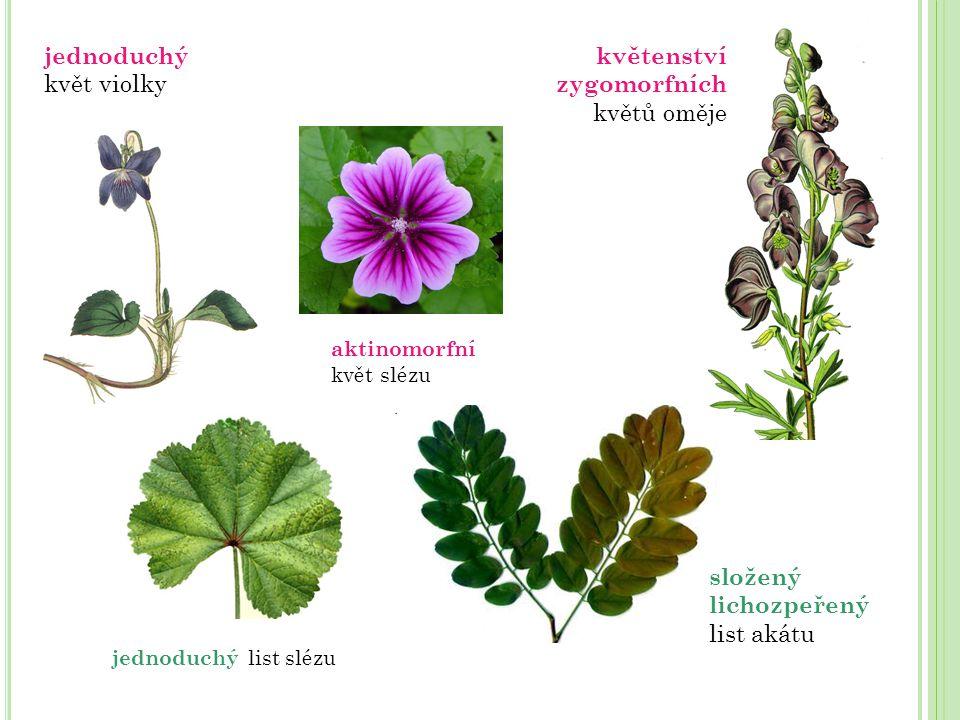 jednoduchý list slézu jednoduchý květ violky aktinomorfní květ slézu složený lichozpeřený list akátu květenství zygomorfních květů oměje