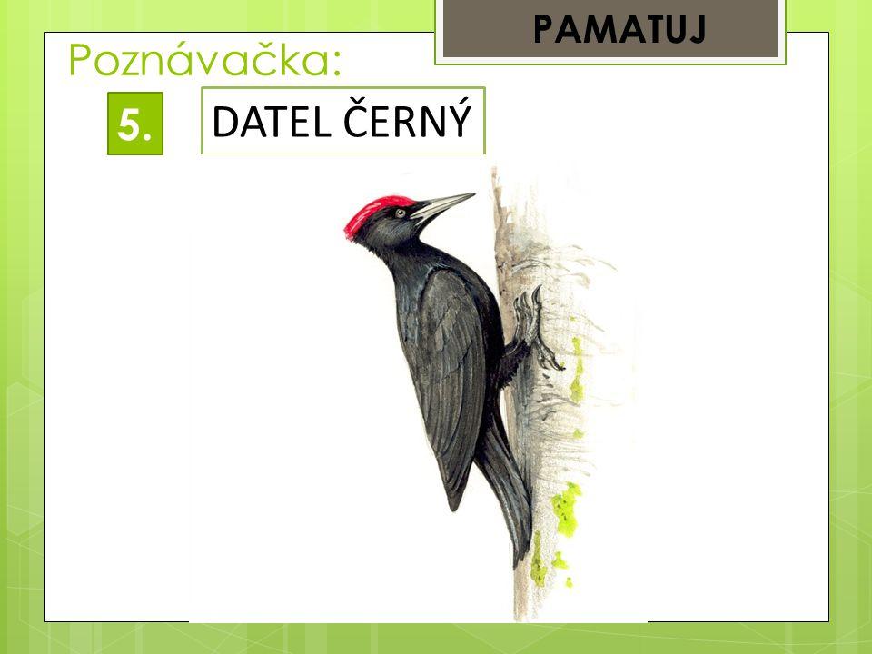 Poznávačka: PAMATUJ 5.5. DATEL ČERNÝ