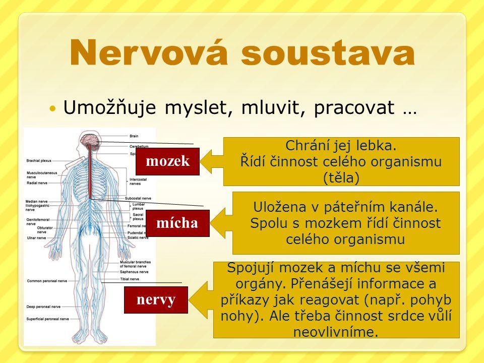 Nervová soustava Umožňuje myslet, mluvit, pracovat … mozek mícha nervy Chrání jej lebka.