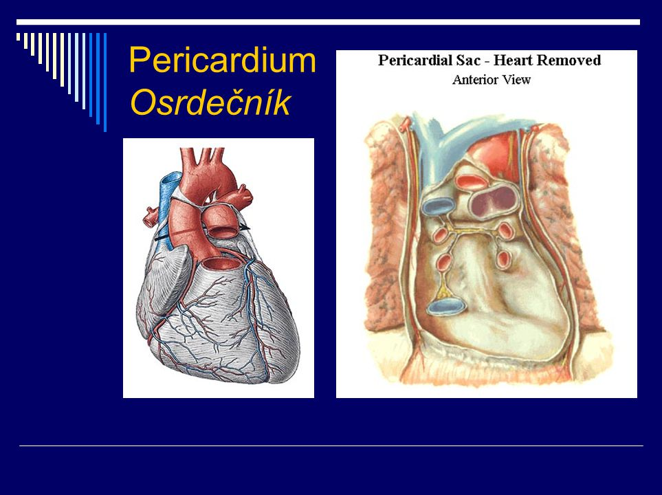 Srdeční dutiny  atrium dextrum + sinistrum  septum interatriale  septum atrioventriculare  ventriculus dexter + sinister  septum interventriculare (pars membranacea + muscularis)