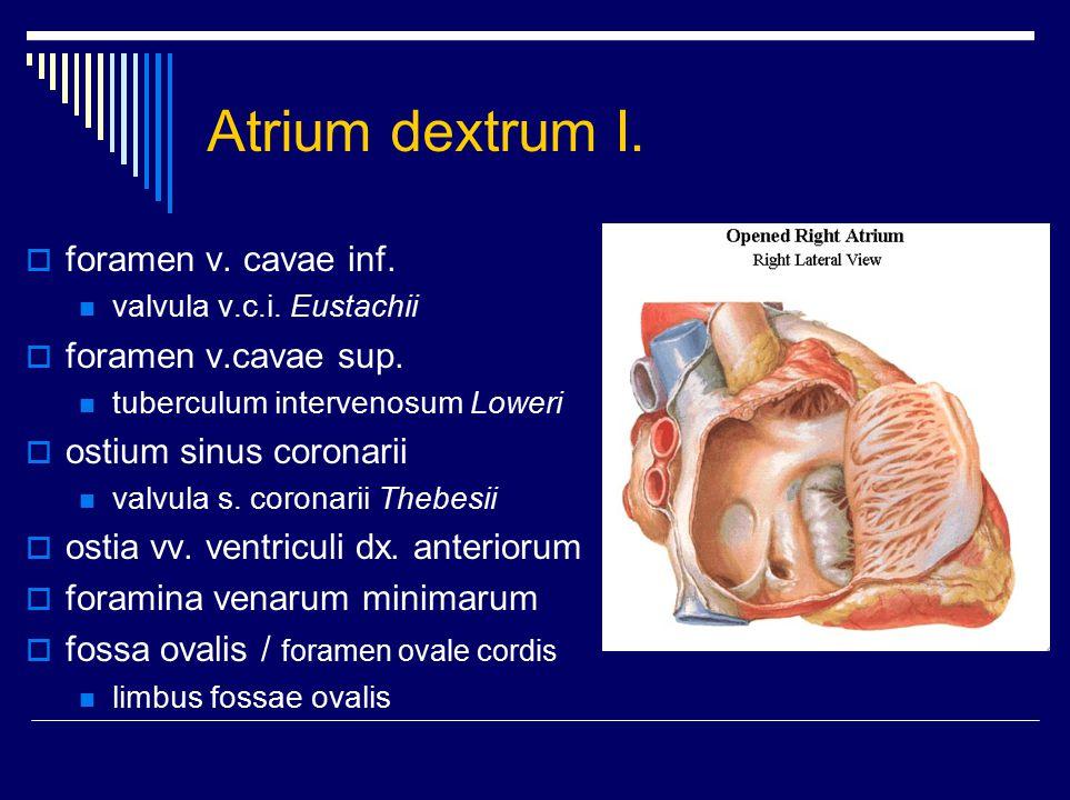 Atrium dextrum II. auricula dextra  sinus venarum cavarum  crista terminalis  mm.