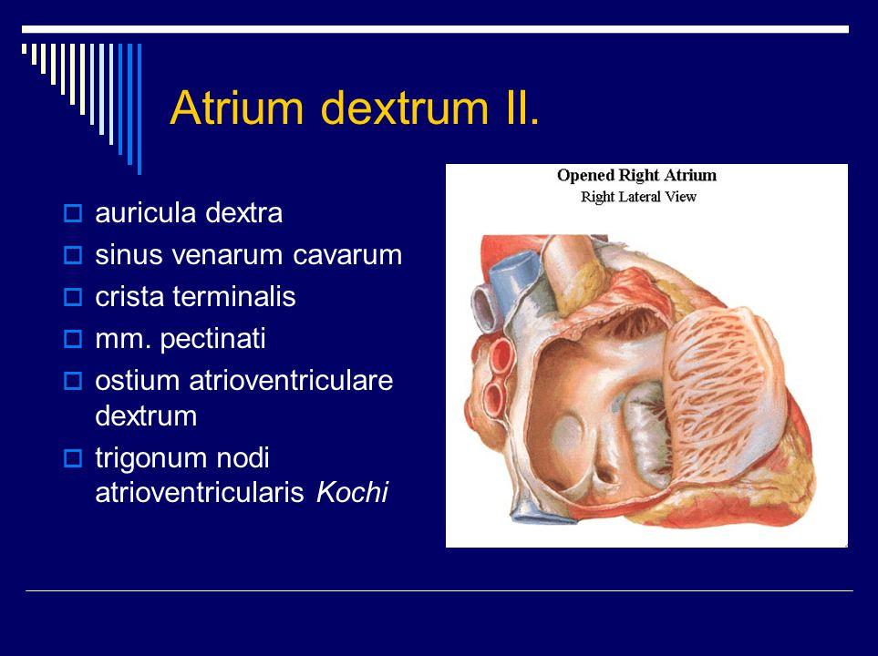 Ventriculus dexter I.