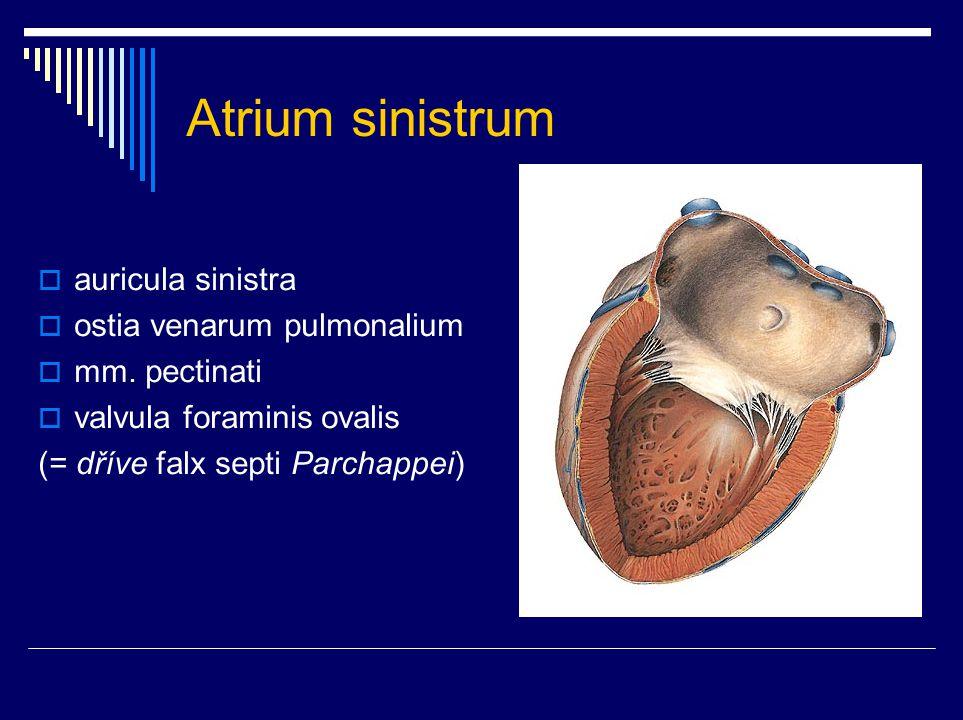 Ventriculus sinister  ostium atrioventriculare sinistrum valva mitralis s.