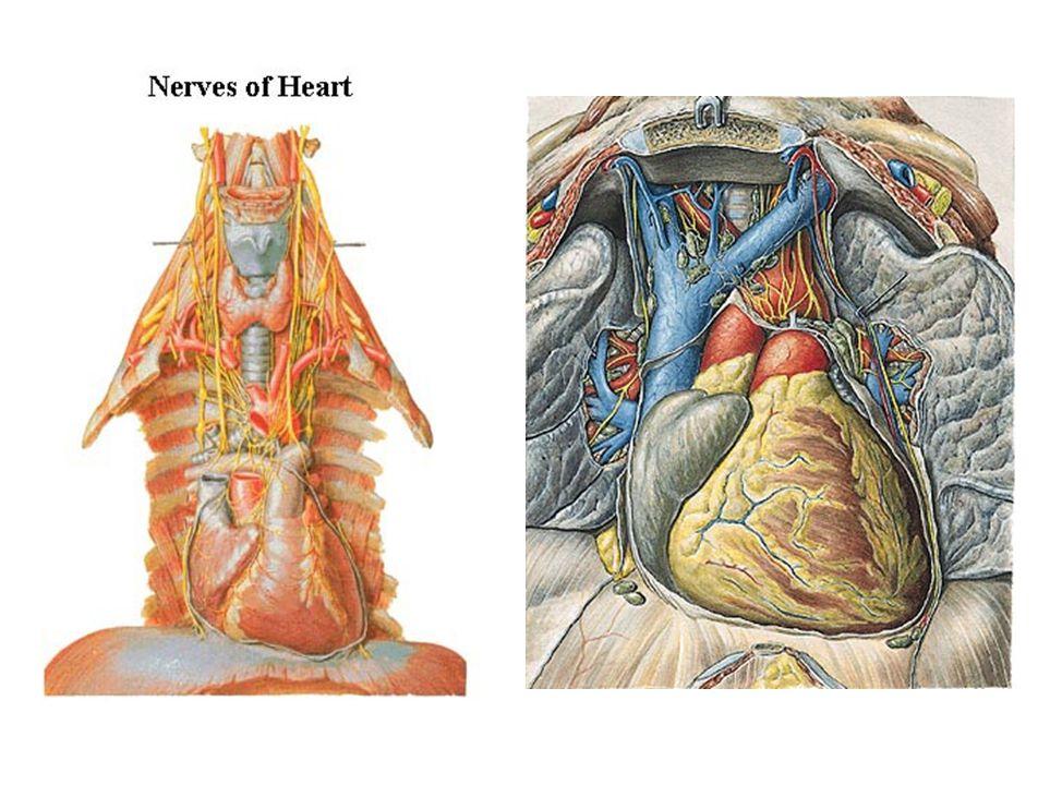 """Převodní soustava srdeční Complexus stimlans cordis Systema conducens cordis """"Excitomotorický aparát  zajišťuje srdeční automacii  tvořen modifikovanými kardiomyocyty: méně myofibril uložených na periferii chybí interkalární disky spojení pomocí desmozómů a nexů rozdílná velikost glykogen nahromaděn kolem jádra"""