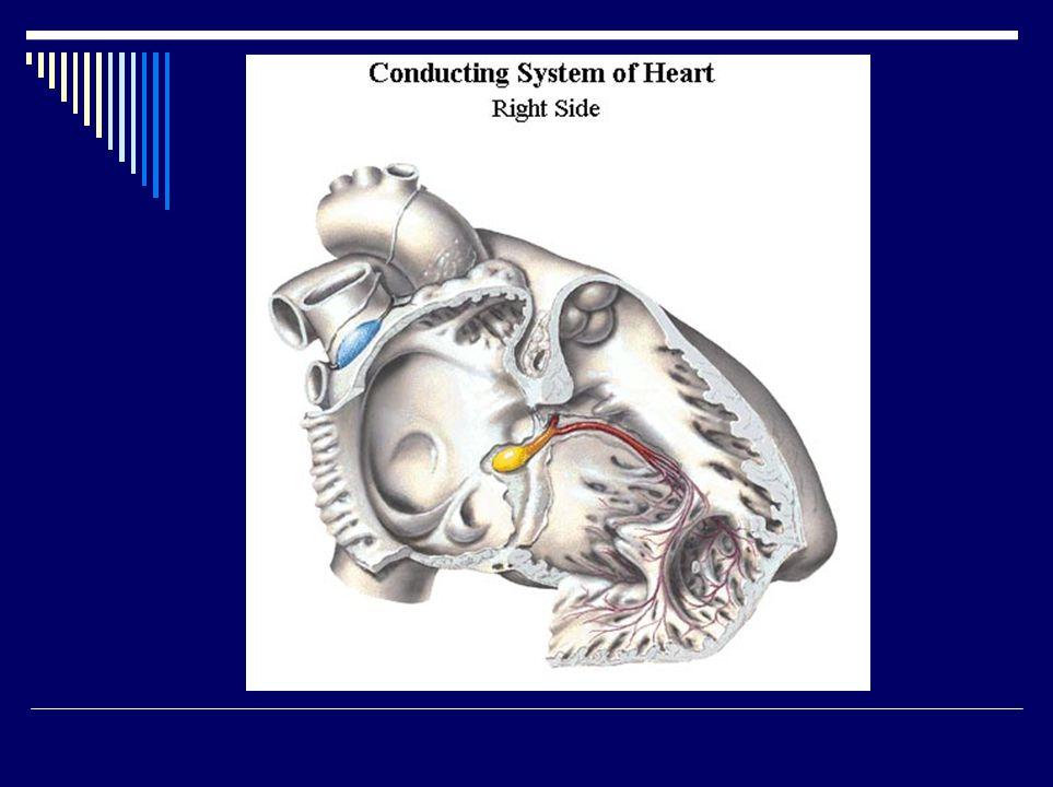 Převodní soustava srdeční III. fasciculus atrioventricularis /His/ - blokády truncus f.a.