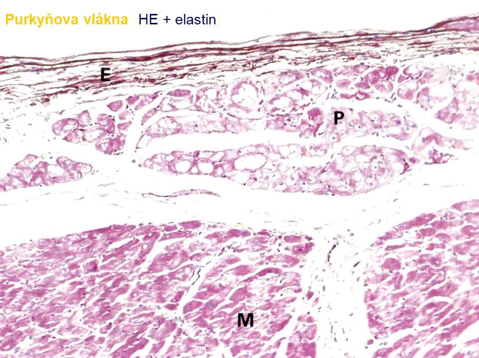 Fyziologie  Srdeční cyklus systola diastola  Tepová frekvence a objemy  EKG křivka  Křivka tepenného tlaku s dikrotickým zářezem  Endokrinní funkce - ANF