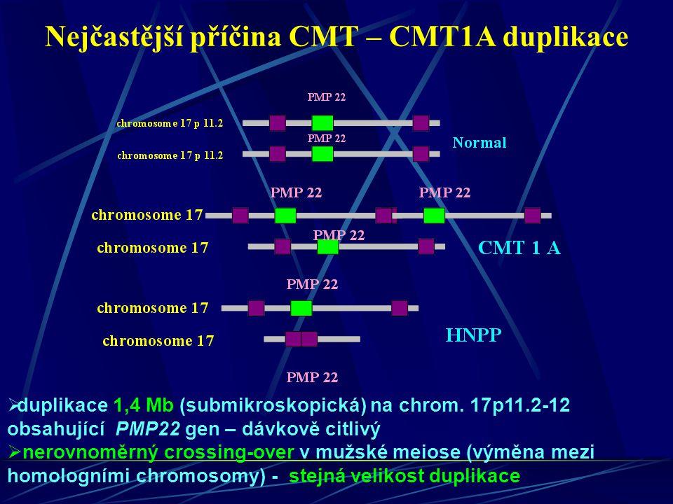 Nejčastější příčina CMT – CMT1A duplikace  duplikace 1,4 Mb (submikroskopická) na chrom. 17p11.2-12 obsahující PMP22 gen – dávkově citlivý  nerovnom