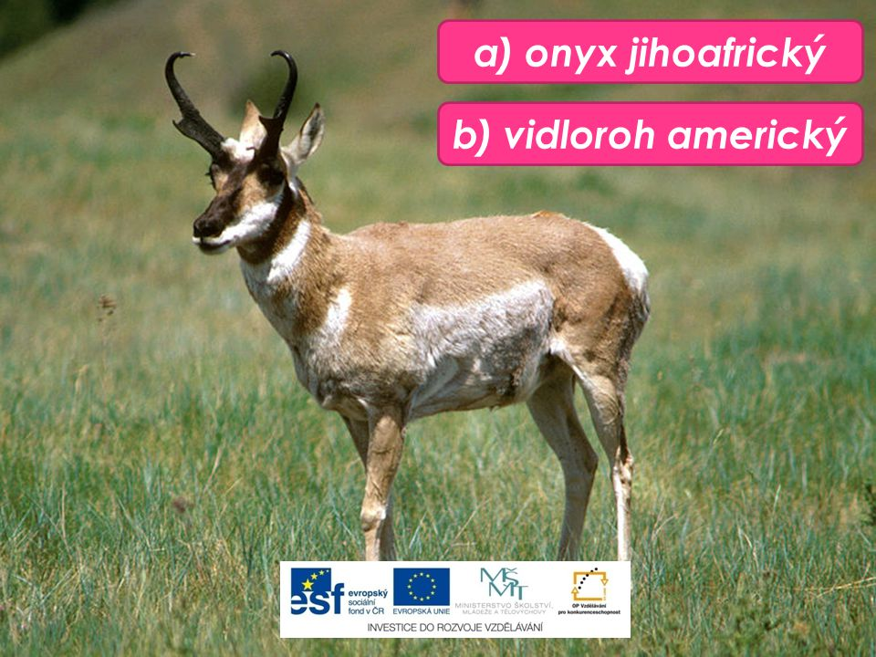 b) vidloroh americký a) onyx jihoafrický