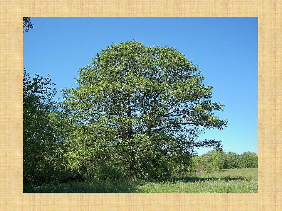 Olše lepkavá Alnus glutinosa Borka: zpočátku žlutohnědá, později tmavohnědá až šedá poměrně rychle vytváří borku, která je tmavošedá, rozpukaná v obdélníkových pásech nebo čtvercových destičkách