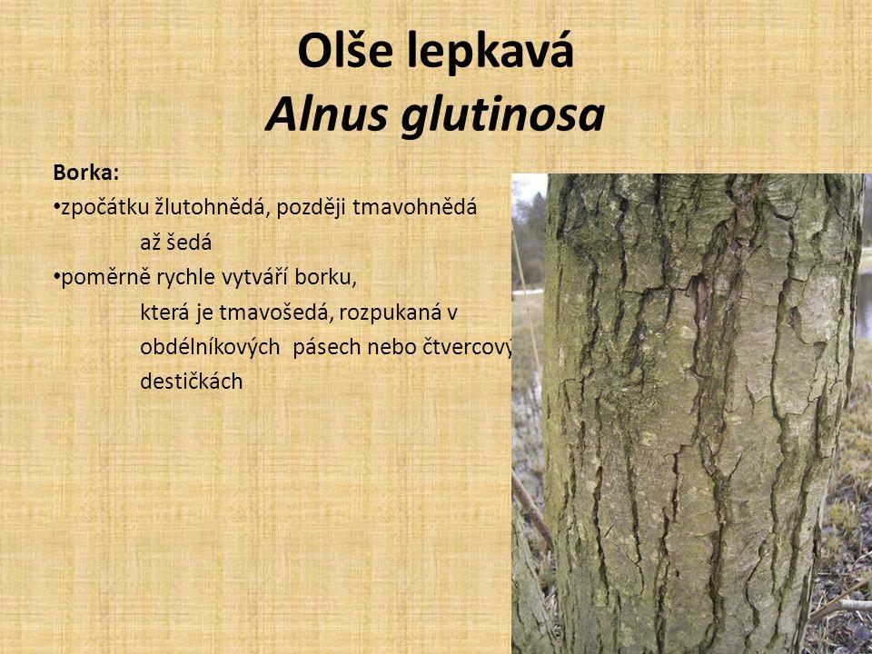 Olše lepkavá Alnus glutinosa Letorosty: zelené nebo světle purpurové nápadné lenticely – oranžově červené Pupeny: zřetelně stopkaté, postaveny spirálovitě dvě hnědofialové pupenové šupiny, lepkavé