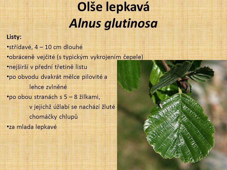Olše lepkavá Alnus glutinosa Listy: střídavé, 4 – 10 cm dlouhé obráceně vejčité (s typickým vykrojením čepele) nejširší v přední třetině listu po obvodu dvakrát mělce pilovité a lehce zvlněné po obou stranách s 5 – 8 žilkami, v jejichž úžlabí se nachází žluté chomáčky chlupů za mlada lepkavé