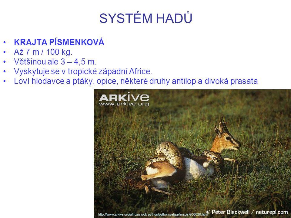SYSTÉM HADŮ http://www.arkive.org/african-rock-python/python-sebae/image-G34212.html KRAJTA PÍSMENKOVÁ polykající impalu.