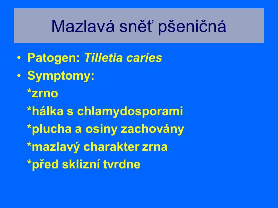 Mazlavá sněť pšeničná Patogen: Tilletia caries Symptomy: *zrno *hálka s chlamydosporami *plucha a osiny zachovány *mazlavý charakter zrna *před sklizn