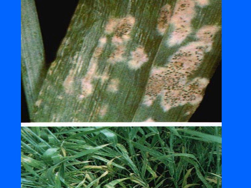 Stéblolam Patogen: Pseudocercosporella herpotrichoides ozimá pšenice, méně ozimý ječmen vysoká půdní vlhkost, chladné počasí Symptomy: *nejdříve – pochva nejstaršího listu *hnědé elipsovité skvrny, tmavý lem *praskání *nenapadá kořeny