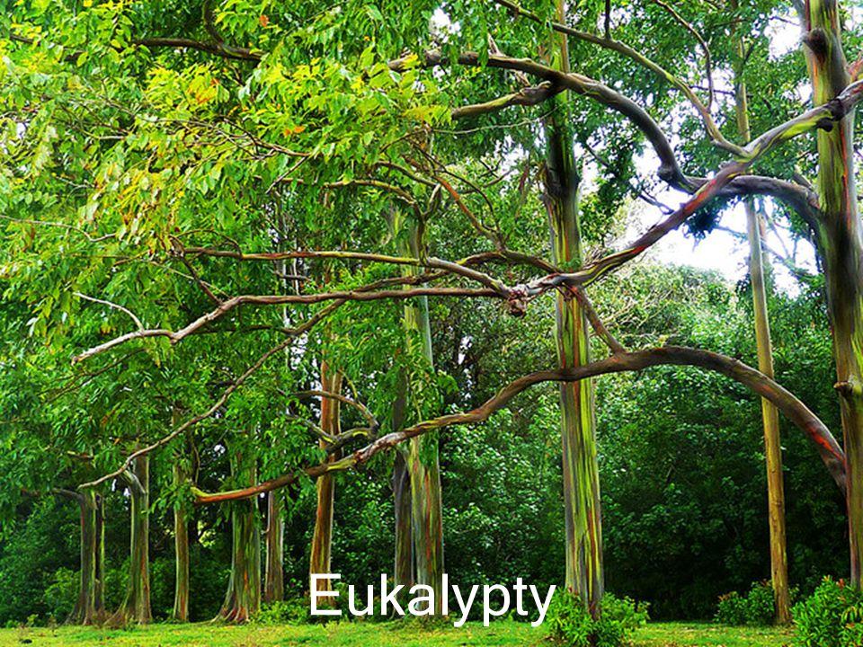 Květy eukalyptů
