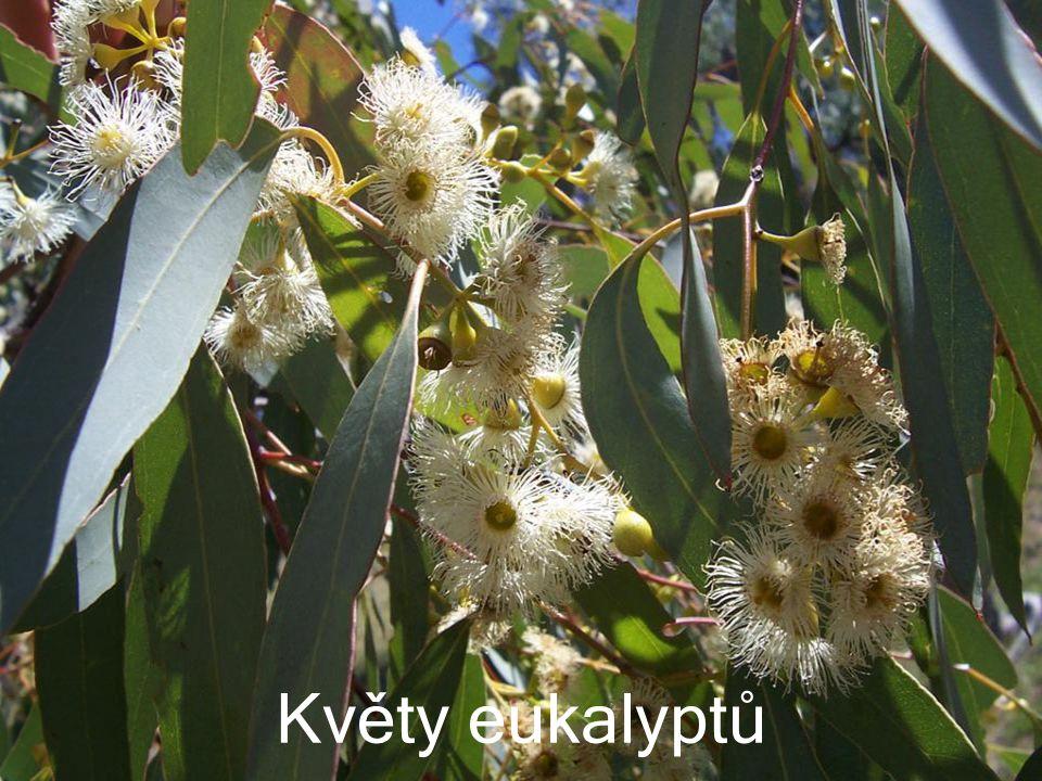 Listy eukaliptů