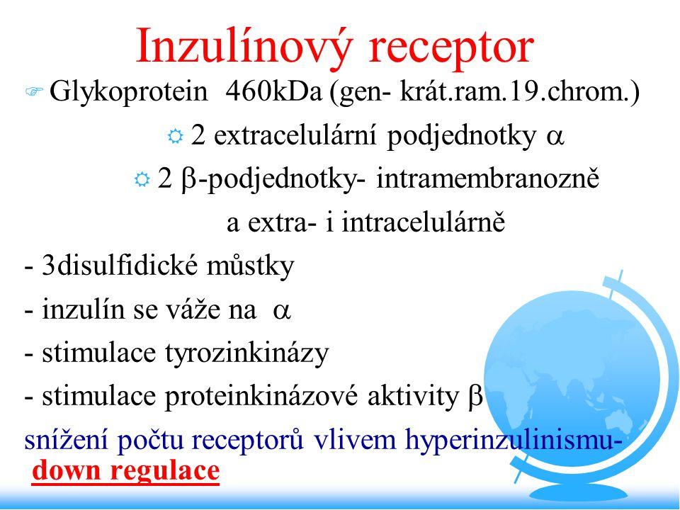 Inzulínový receptor F Glykoprotein 460kDa (gen- krát.ram.19.chrom.) R 2 extracelulární podjednotky  R 2  -podjednotky- intramembranozně a extra- i i