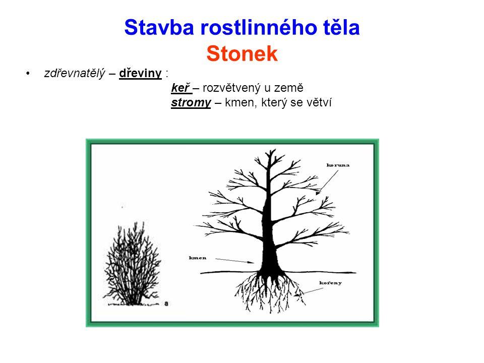 Stavba rostlinného těla Stonek Byliny – povrch – pokožka, pod ní dužnina – v ní cévní svazky=žilky Dřeviny – povrch – borka = odumřelá část kůry - pod kůrou- lýko - dřevo - prostředek - dřeň Letokruhy – přírůstky dřeva jaro – rychlý růst, řidší dřevo podzim – opak