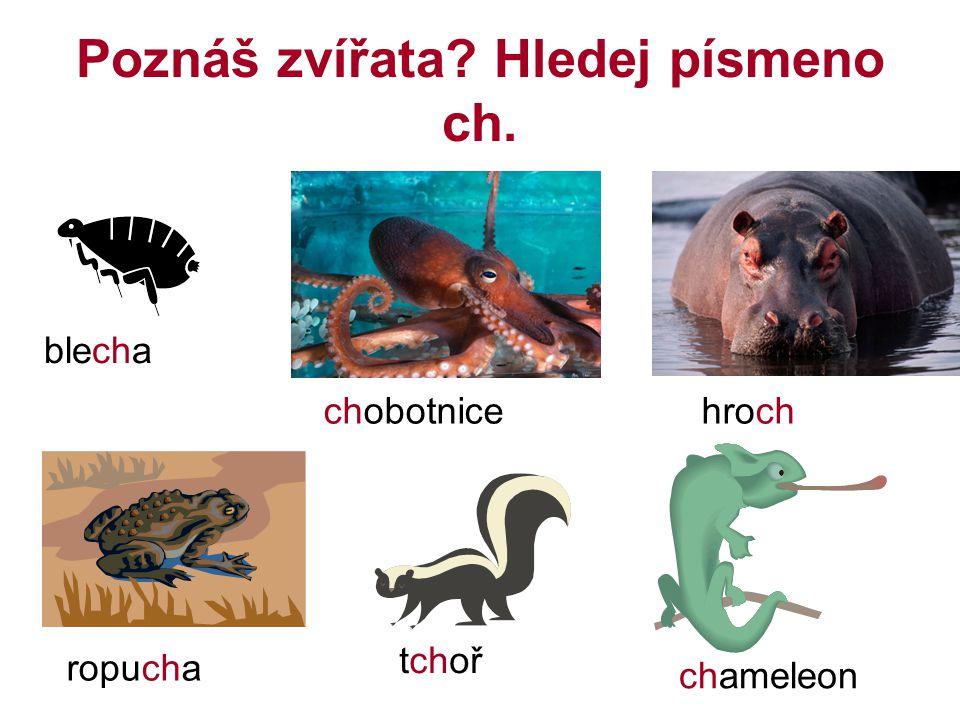Poznáš zvířata? Hledej písmeno ch. chameleon chobotnicehroch ropucha tchoř blecha