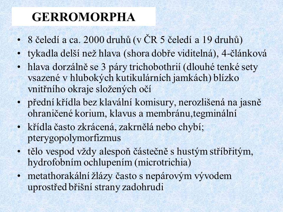 8 čeledí a ca. 2000 druhů (v ČR 5 čeledí a 19 druhů) tykadla delší než hlava (shora dobře viditelná), 4-článková hlava dorzálně se 3 páry trichobothri